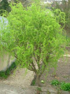 planter un saule tortueux