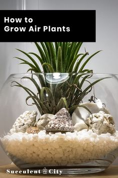 There are many reasons to grow your own air plants and they include many health benefits! Read on some tips on how to grow air plants. Succulents Garden, Garden Plants, Indoor Plants, Air Plants Care, Plant Care, Growing Flowers, Growing Plants, Air Plant Terrarium, Terrarium Diy