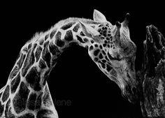 Giraffe | 5x7 scratchboard | Melissa Helene Fine Arts + Photography  www.melissahelene.com #artwork #art #wildlife #animalart #scratchboard #giraffe #melissahelenefinearts #blackandwhite