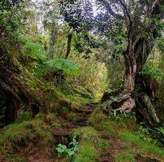 Promenons-nous dans les bois pendant que... #gotoReunion #reunionisland #iledelareunion #team974 #weare974 #LaRéunion #France #Reunion #LaReunionléla #nature #mountain #reunionparadis #vanillaislands #hiking #path #974 #trailrunning #trail #igerslareunion  #visitlafrance #super_france #adventure by cthoquenne