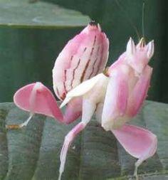 pink praying mantis