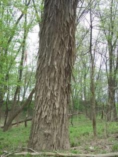 Shellbark Hickory Tree Hickory Tree, Arbour Day, Trees To Plant, The Great Outdoors, Shrubs, Paths, Gardening, Gift, Nature