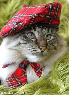 Tartan Cat dressed and ready to sing to the sound of the bagpipes :)