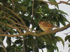 スズメ. a sparrow on the tree. 19 July 2016.