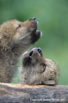 01264-095.09  Gray wolf pups howl in habitat by Denver Bryan 2006.  ~Amadea =◕ᴥ◕=