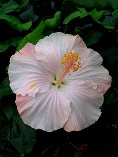 Hibiscus 'Capistrano'