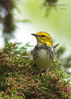 Black-thoated Green Warbler by Steve Gilchrist, via Flickr