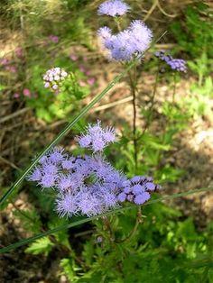 """A wonderful butterfly plant, Eupatorium """"Blue Mist."""""""