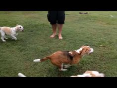 Watch a Bunch of Energetic #Beagles #Chase a #Remote_Controlled Car for Fun http://ibeebz.com