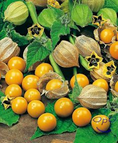 Cape Gooseberry 100 Seeds with instructions Golden Berry, Chinese Lantern Cape Gooseberry, Permaculture Design, Golden Berry, Golden Yellow, Fruit Seeds, Ripe Fruit, Kids On The Block, Gardens, Veggies