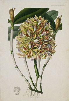 stilllifequickheart:    S.A. Drake  Cattleya Guttata  1830-49