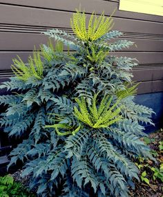 Mahonia x media 'Charity'. My current favorite Mahonia. Planting Shrubs, Garden Shrubs, Landscaping Plants, Shade Garden, Trees And Shrubs, Trees To Plant, Evergreen Shrubs, Oregon Grape, Gardening Zones