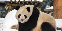Panda Spotlight - Tai Shan / Post by Pandas International Tai Shan was born on July 9, 2005 at the Smithsonian National Zoo in Washington, D...