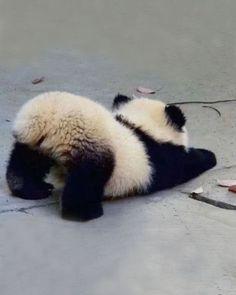 ♔ Baby panda <-- Cute little fluffle butt! ♔ Baby panda <-- Cute little fluffle butt! So Cute Baby, Baby Animals Super Cute, Cute Little Animals, Cute Funny Animals, Cute Babies, Cute Panda Baby, Big Animals, Smiling Animals, Farm Animals