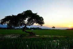 Pohon Pengantin, Salatiga City, Central Java, INDONESIA  #nature #sunset #indonesia