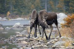 Biologists estimate that we have about moose here in Maine, and spring is the perfect opportunity to spot the newest members of that big family – moose calves are usually born in May or June. Majestic Animals, Animals Beautiful, Cute Animals, Crazy Animals, Beautiful Scenery, Wild Animals, Simply Beautiful, Wild Creatures, All Gods Creatures