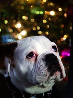 Bentley's first Christmas