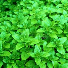 100 Greek Oregano Seeds Herb Intense Flavor Seeds NEW Rich flavor #>=#>=#>=#>=#> Click on the pin to check out discount price, color, size, shipping, etc. Save and like it!