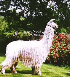 Llamas, Farm Animals, Funny Animals, Suri Alpaca, Ostriches, Mini Farm, Cute Posts, Camels, Small Birds