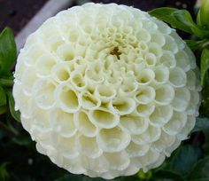 """Bowen"" - bloom type: Pompon, color: white, bloom size: 2in, height: 3ft"