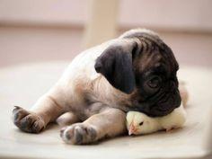 cute pug - Google Search