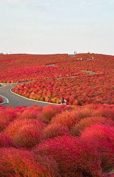 Hitachi Seaside Park - located in Hitachinaka, Japan. It is beautiful flower park and a famous tourist destination. The park has total area of hectares and Beautiful World, Beautiful Places, Amazing Places, Beautiful Pictures, Hitachi Seaside Park, Burning Bush, Parcs, Amazing Nature, Belle Photo