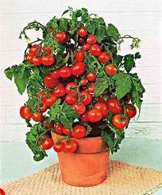 'Red Bell' tomatoes, great variety