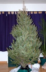 How To Buy A Real Christmas Tree: Selection, Care And Safety Tips ...