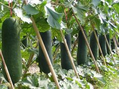 How to set bamboo pole stakes of plant trellis for Luffa?L Horticulture and Agriculture Supplies