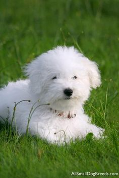 Bichon Frise - looks like my two babies....Gus and Bailey!