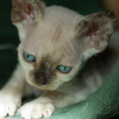 """thesaurusrexx: """" (by Peter Hasselbom) Poor hairless kitty. I want to give him a hug. Crazy Cat Lady, Crazy Cats, Rachel Friends, Critters 3, Cornish Rex Cat, Devon Rex, Sphynx, Show, Baby Animals"""