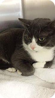 Media, PA - Domestic Shorthair. Meet Lola Joy a Cat for Adoption.
