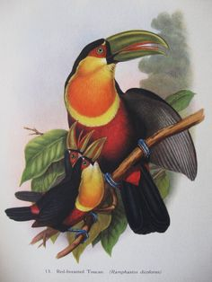 RedBreasted Toucan John Gould Bird Print Plate 13 by Picabosplace, $13.95