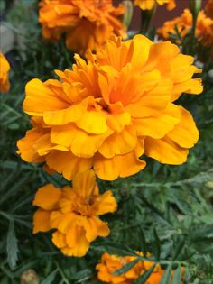 Marigold, Goals, Plants, Photography, Photograph, Fotografie, Photoshoot, Plant, Planets