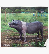 Black And White Pig on Farm Poster