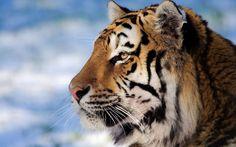 http://www.mrwallpaper.com/wallpapers/closeup-tiger-face.jpg