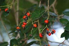 Apodytes Dimidata        White Pear        Witpeer        4-5 m       (20)      S A no 422