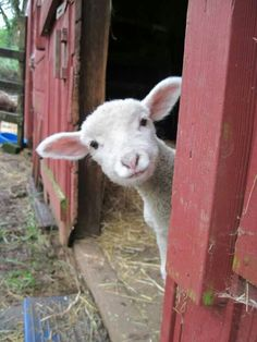 This is honestly creeping me out .. lol. There are multiple odd looking photos of lambs on my feed right now