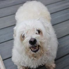 Check out Gumbo's profile on AllPaws.com and help her get adopted! Gumbo is an adorable Dog that needs a new home. https://www.allpaws.com/adopt-a-dog/maltese/3988731?social_ref=pinterest