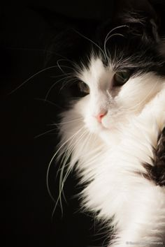 """""""If animals could speak, the dog would be a blundering outspoken fellow, but the cat would have the rare grace of never saying a word too much."""" --Mark Twain"""