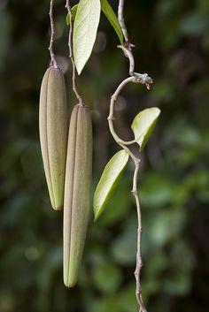 Parsonsia straminea (vine) fruit | Flickr . Wonderful simple form