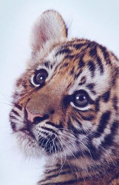 Sweet little tiger funny animals, cute baby animals, animals and pets, cute c Beautiful Cats, Animals Beautiful, Majestic Animals, Beautiful Pictures, Animals And Pets, Funny Animals, Big Animals, Jungle Animals, Cute Little Animals