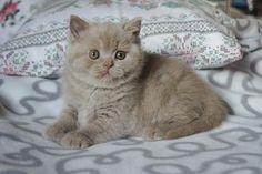 Adorable British Shorthair Kitty