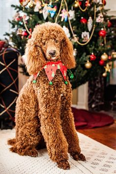 Holiday poodle pose!
