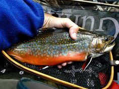 Spectacular Autumn Brook Trout by Upstate Dave, via Flickr