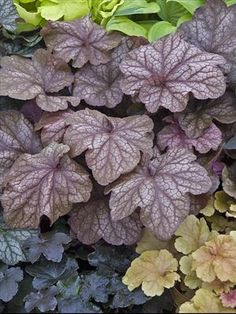 """Heuchera """"Beaujolais""""   A perennial named after my favorite wine?!  It's meant to be!"""