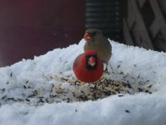 Male Female Cardinals