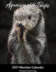 """""""Today is Charlie the sea otter's birthday! At 20 years old, Charlie is the oldest known southern sea otter in a zoo or aquarium. """""""