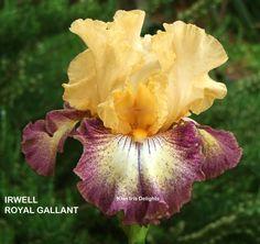 TB Iris germanica 'Irwell Royal Gallant' (Busch, 2010)