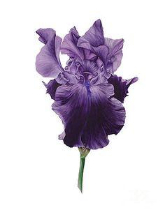 Black Iris lll by Marie Burke